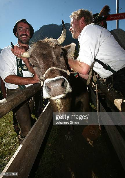 Farmers identifie cows after the ceremonial cattle drive on September 13 2007 in Oberstdorf Germany Accompanied by some celebrations the Bavarian...