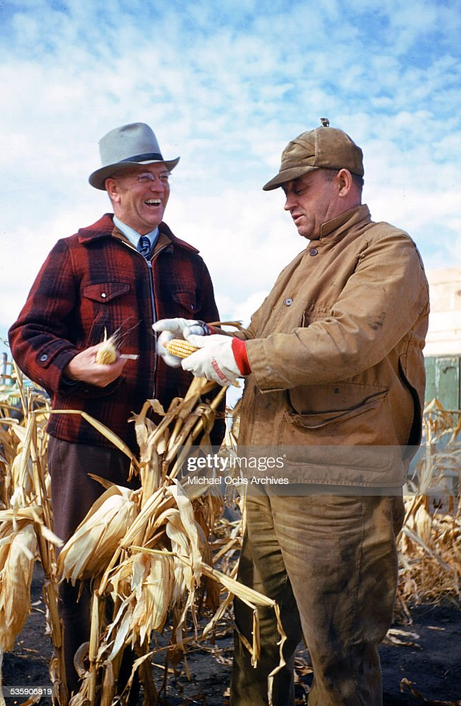 Farmers inspect ears of corn during corn harvest time.