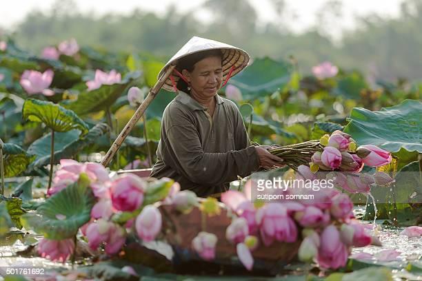 Farmers keep lotus flower on boat in the lake