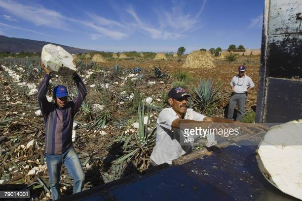 Farmers load blue Agave plants onto a truck for the production of tequila in Arandas Mexico 11 January 2008 In the last 15 years tequila ceased to be...