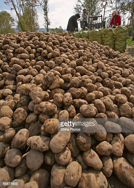Farmers pack potatoes before they transport them for sale on October 7 2005 in Huzhu County of Qinghai Province China Potatoes are one of the main...