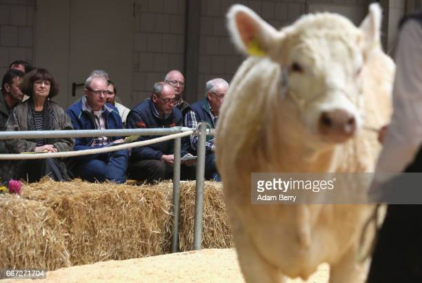 Farmers participate in an annual heifer auction on April 11 2017 in Gross Kreutz Germany Around 80 Angus Charolais Hereford Uckermärker Blonde...