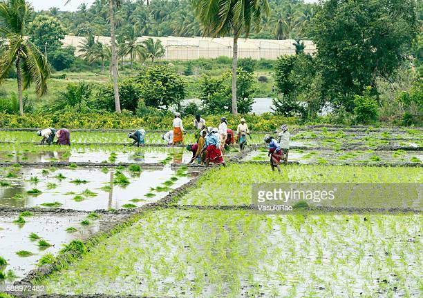 Farmers planting paddy, Karnataka, India