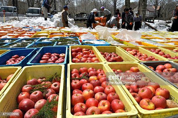 Farmers prepare for the 'Yukinko Ringo' apple stored for three months to mature and get higher sugar content on April 28 2015 in Numata Gunma Japan