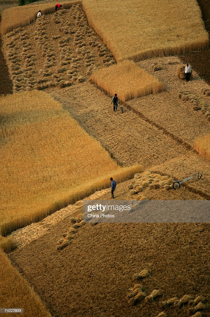 Farmers reap wheat during the summer crop season May 21, 2007 in Xian of Shaanxi Province, China. China's Agricultural ministry is concerned that a continuing drought will hurt this summer?s wheat crops.