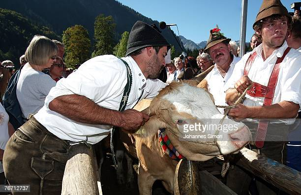 Farmers remove a cowbell from a cow after the ceremonial cattle drive on September 13 2007 in Oberstdorf Germany Accompanied by some celebrations the...