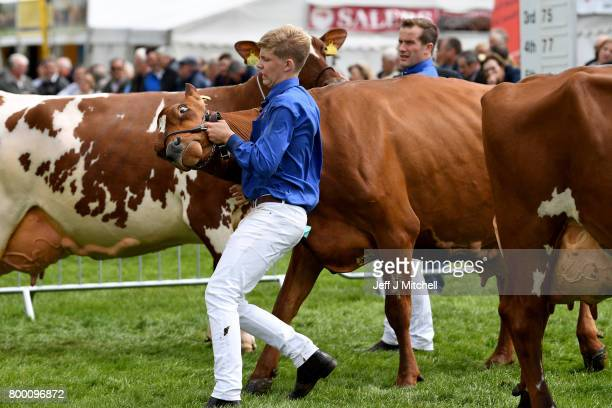Farmers show their cattle at the at the Royal Highland show on June 23 2017 in Edinburgh ScotlandThe Royal Highland Show is Scotland's annual farming...