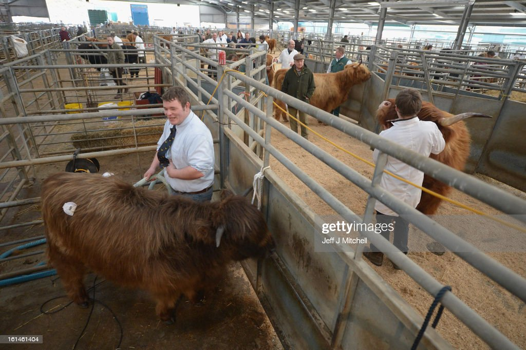 Farmers stand alongside Highland cattle fheld in pens during the 122nd Highland Cattle Society spring sale at Oban Livestock centre on February 11, 2013 in Oban, Scotland. The show and sale held over two day's is open to all highland breed enthusiasts, attracting many buyers from across Europe and North America.
