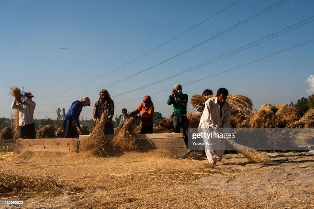 Farmers thrash rice in a paddy after harvesting October 03, 2013 in Sriinagar, the summer capital of Indian administered Kashmir, India. Paddy production has gone down in Kashmir during the recent years largely due to unplanned and rapid urbanisation, with the area under rice crop cultivation coming down from 122 hectares in 2010-11 to 112 hectares in 2013, according to an economic survey to the state government.