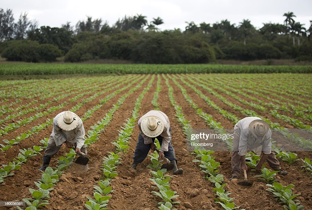 Farmers use tools to break up soil in a field of young tobacco plants on a plantation near Pinar del Rio, Cuba, on Monday, Jan. 14, 2013. In a country where the average monthly salary is $19, according to Cuba's statistics agency, even buying an airplane ticket will be beyond the reach of most of the island's 11 million residents as President Raul Castro begins easing travel rules on the communist island. Photographer: Andrey Rudakov/Bloomberg via Getty Images
