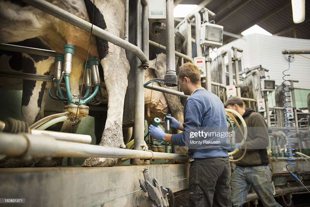 Farmers using milk cluster to milk cows in milking parlour on dairy farm