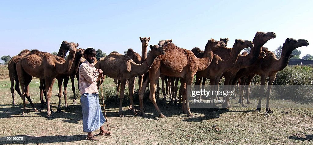 A Farmers wait for customers near his camels, brought for sale during the famous Jhiri fair - a village where 'blessed peasant Jitu' scarified his life fighting for the rights of tillers at Kanachak village on November 17, 2013 in Jammu, India. According to legend, the fair is held in memory of Baba Jitu, a simple and honest farmer who killed himself since he was not prepared to submit to the unjust demands of a landlord who wanted him to part with his crop.