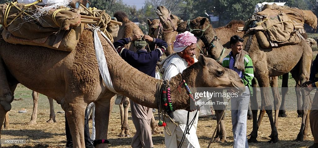 Farmers wait for customers near his camels for sale during the famous Jhiri fair - a village where 'blessed peasant Jitu' scarified his life fighting for the rights of tillers at Kanachak village on November 18, 2013 in Jammu, India. According to legend, the fair is held in memory of Baba Jitu, a simple and honest farmer who killed himself since he was not prepared to submit to the unjust demands of a landlord who wanted him to part with his crop.