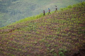 Farmers walk across a coca plantation in the mountains of the department of Cauca Colombia on June 21 2012 The department of Cauca was one of the two...