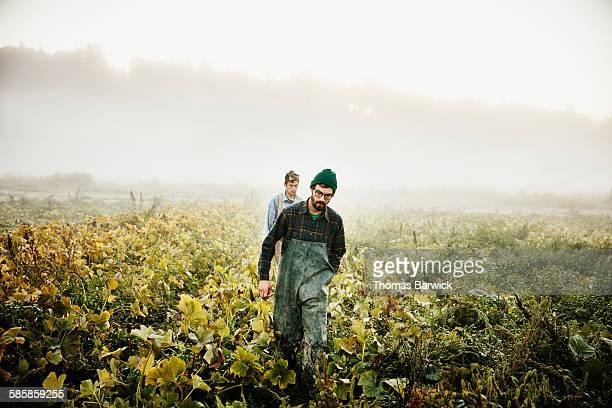 Farmers walking through field of organic squash