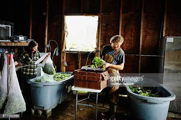 Farmers washing salad greens in work shed on farm
