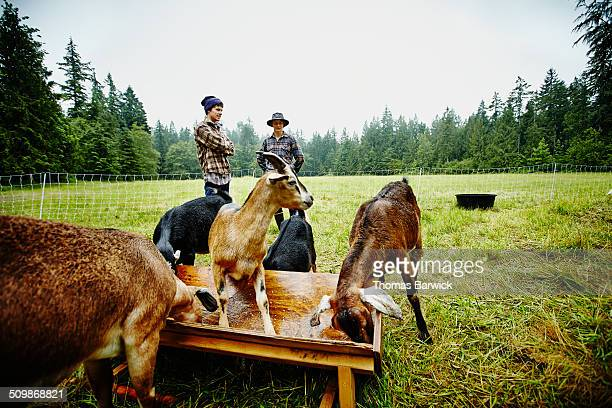 Farmers watching goats eat at trough in pasture