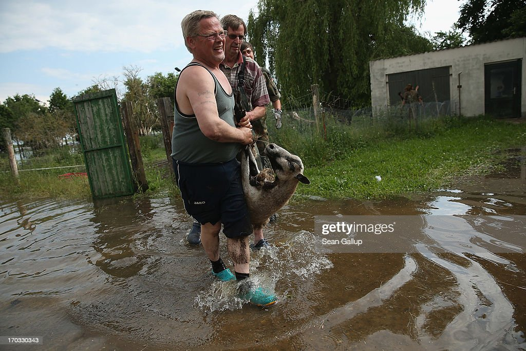 Farmers, who said 170 hectares of their land lie submerged, evacuate sheep from their farm as floodwaters from the nearby Elbe river encroach on June 11, 2013 in Hohengoehren, Germany. Authorities are revising their river level estimates downward following the bursting of a dyke upstream that sent floodwaters into fields and nearby villages. Germany is experiencing floods that in some regions are the worst in recorded history and at least seven people have died.