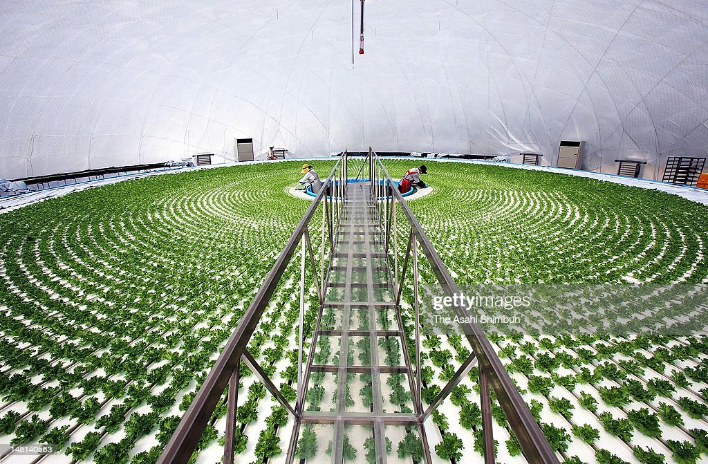 Farmers work in a dome-shaped hydroponic lettuce factory in Rikuzentakata, heavily damaged by tsunami and seawater triggered by March 11 earthquake last year, on July 10, 2012 in Rikuzentakata, Iwate, Japan. Syrinders containing lettuce are floated in the water tank set in the 30 meters in diameter dome and the 3,200 to 3,600 lettuce harvest a day would be expected once all 8 factories go into full operation.