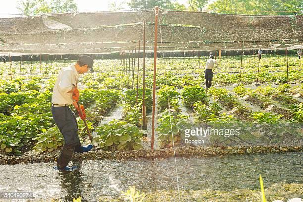 Farmers Work in Japanese Wasabi Farm Tending the Hydroponic Agriculture