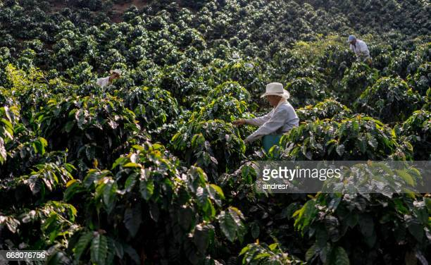 Farmers working at a farm collecting coffee beans
