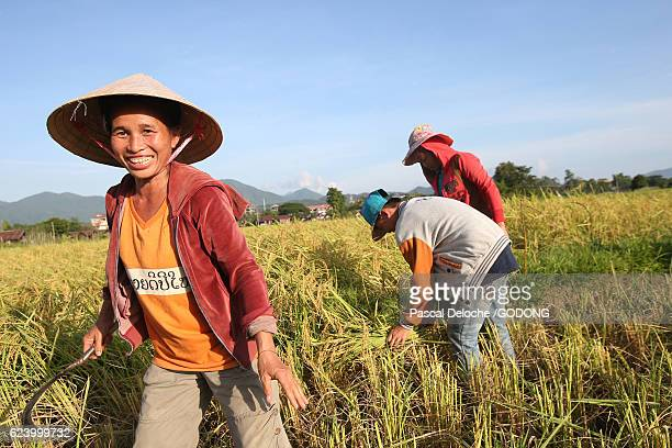 Farmers working in rice fields in rural landscape