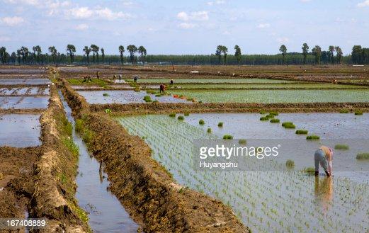 Bauern Arbeiten Pflanzen Reis in das paddy field : Stock-Foto