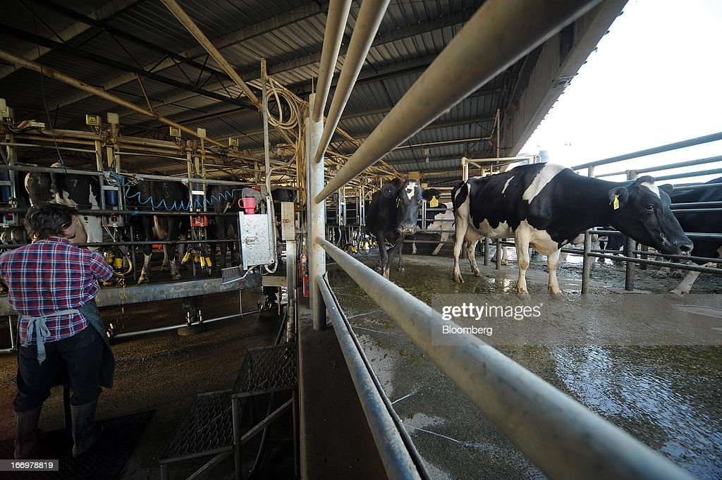 Farmhand Michael Beasy looks on as Friesian cows exit the rotary milking parlor in the milkhouse at Pearson's Farm north of Moama, New South Wales, Australia, on Thursday, April 18, 2013. Farmers in Australia's A$4 billion ($4 billion) dairy industry are striking direct deals with supermarkets that control 80 percent of the country's grocery sector, as a drive to sell milk for A$1 a liter ($3.92 a gallon) squeezes profits. Photographer: Carla Gottgens/Bloomberg via Getty Images