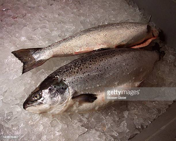 Farmraised Atlantic Salmon from Norway ready for processing at the Legal Seafoods plant