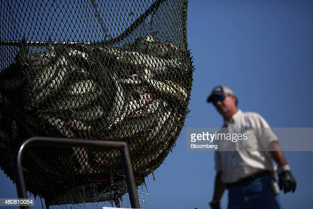 Farmraised catfish sit inside a net while being transferred from a pond to a delivery truck during harvesting on an aquaculture farm in Uniontown...