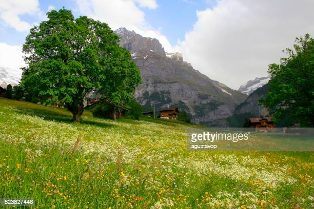 Fary tale landscape at blossoming flowers springtime: idyllic Grindelwald alpine flowerbed valley and wildflowers meadows, dramatic swiss snowcapped alps, idyllic countryside, Bernese Oberland,Swiss Alps, Switzerland