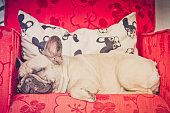 Fast Asleep Fawn French Bulldog Puppy