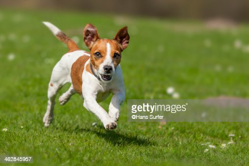 Fast rinning Jack Russel Terrier!