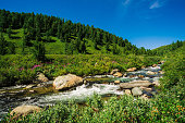Fast water stream of mountain creek among boulders in bright sunlight in valley. Vivid grass, pink flowers, rich vegetation near brook in highlands. Amazing green landscape of majestic Altai nature.
