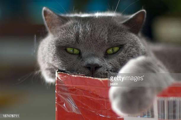 Fat Cat in a Box