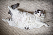 A fat and furry cat laying on her back on a carpet.