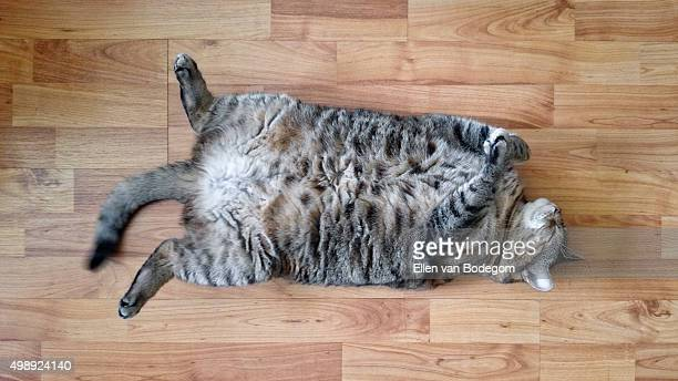 Fat cat lying on its back on wooden floor