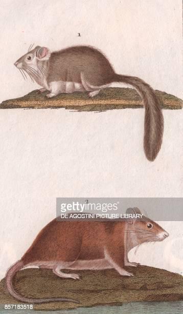 1 Fat dormouse 2 House mouse colour copper engraving retouched in watercolour 9x15 cm from Dizionario delle scienze naturali compilato da vari...