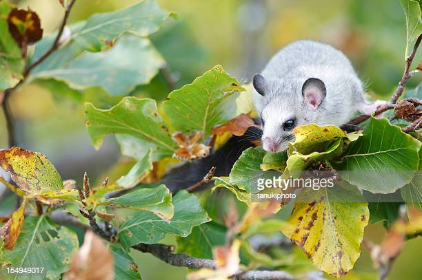 fat dormouse stock photos and pictures getty images
