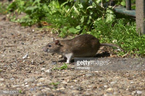 Fat Norway brown rat living on scraps Rattus norvegicus