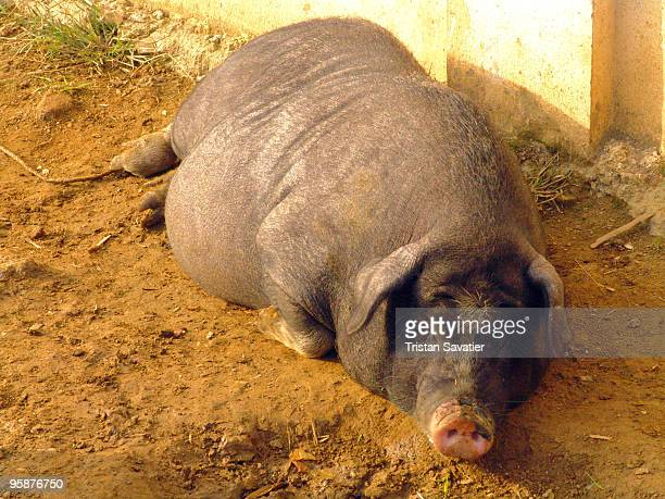 Fat pig sleeping