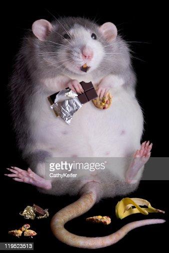 Fat Rat : Stock Photo