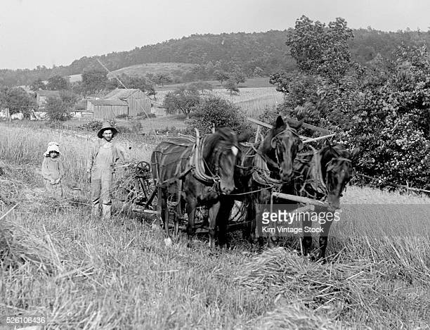 Father and daughter combine a field of wheat with the horse team ca 1910