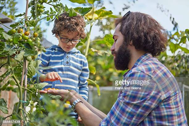 Father and son counting picked cherry tomatoes on allotment