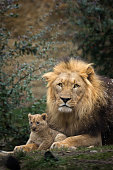A picture from a male lion with one of his cubs.