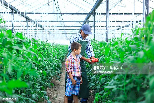 Father and son revise tomato palnts status in greenhouse