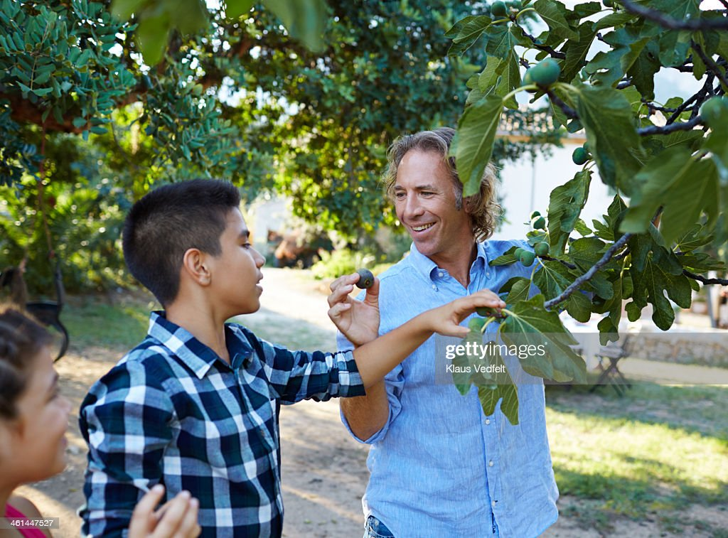 Father picking figs with his two kids : Stock Photo