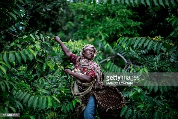 Fatima Saidi reaches out for YlangYlang flowers on February 24 2015 on the slopes of the Karthala volcano where she and other members of her family...