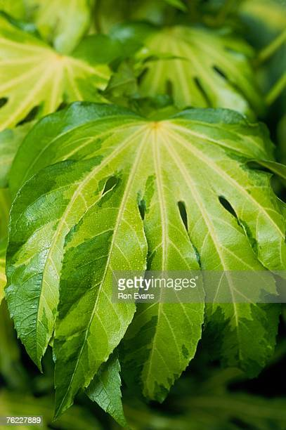 Fatsia Stock Photos And Pictures Getty Images