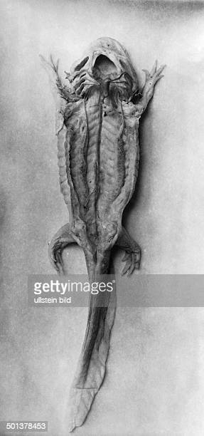 Fauna dissected animals closeup view blood circulation of a Axolotl undated probably around 1910 Photographer Haeckel